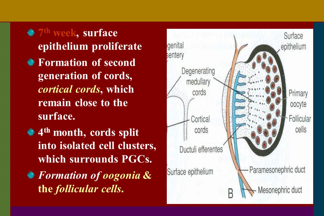 7th week, surface epithelium proliferate