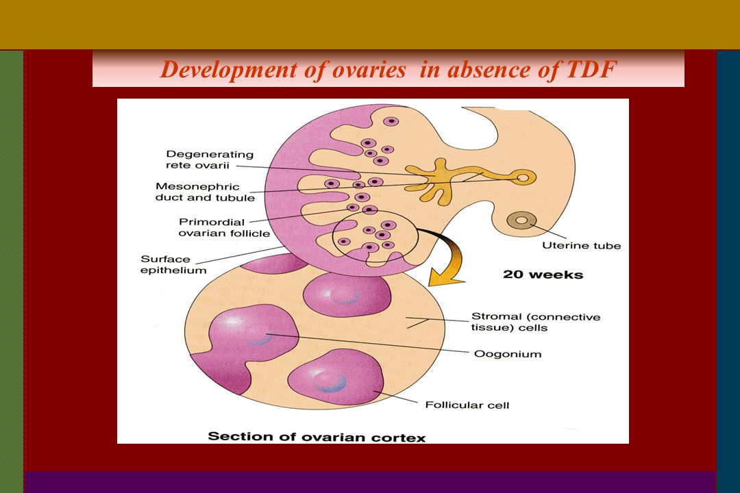 Development of ovaries in absence of TDF
