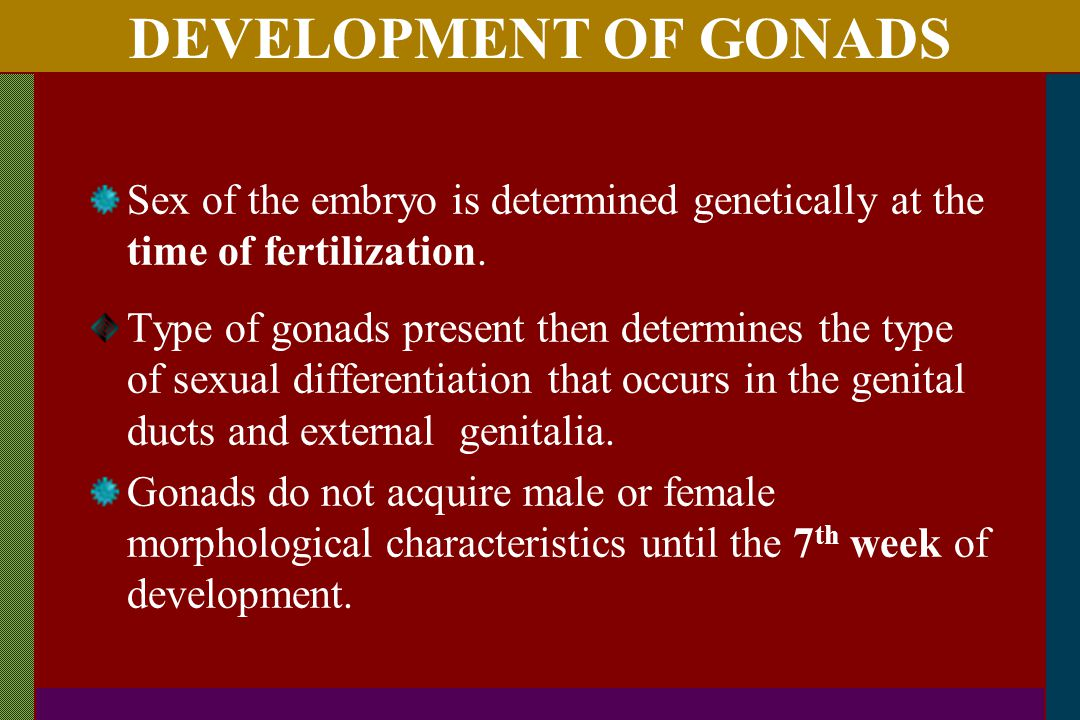 DEVELOPMENT OF GONADS Sex of the embryo is determined genetically at the time of fertilization.