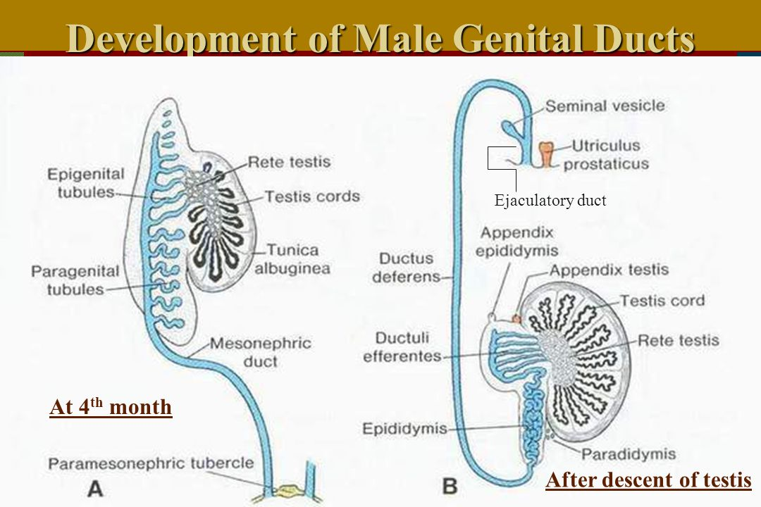 Development of Male Genital Ducts