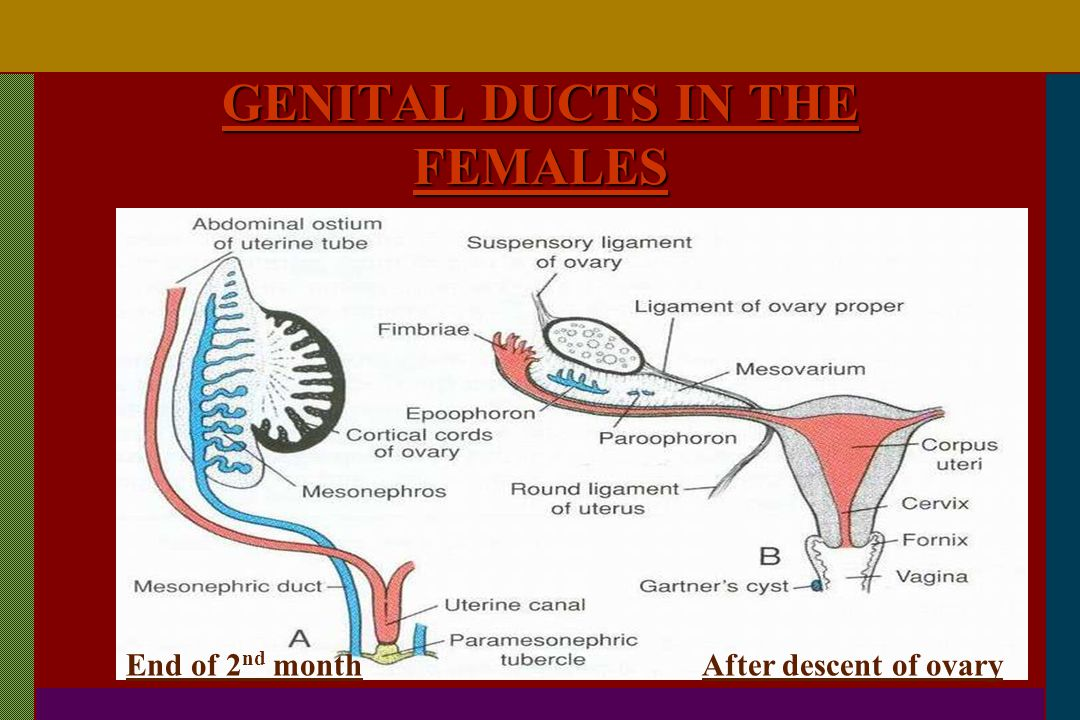 GENITAL DUCTS IN THE FEMALES