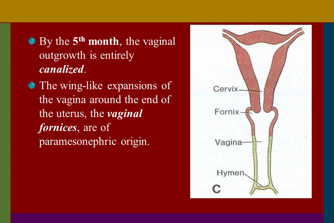 By the 5th month, the vaginal outgrowth is entirely canalized.