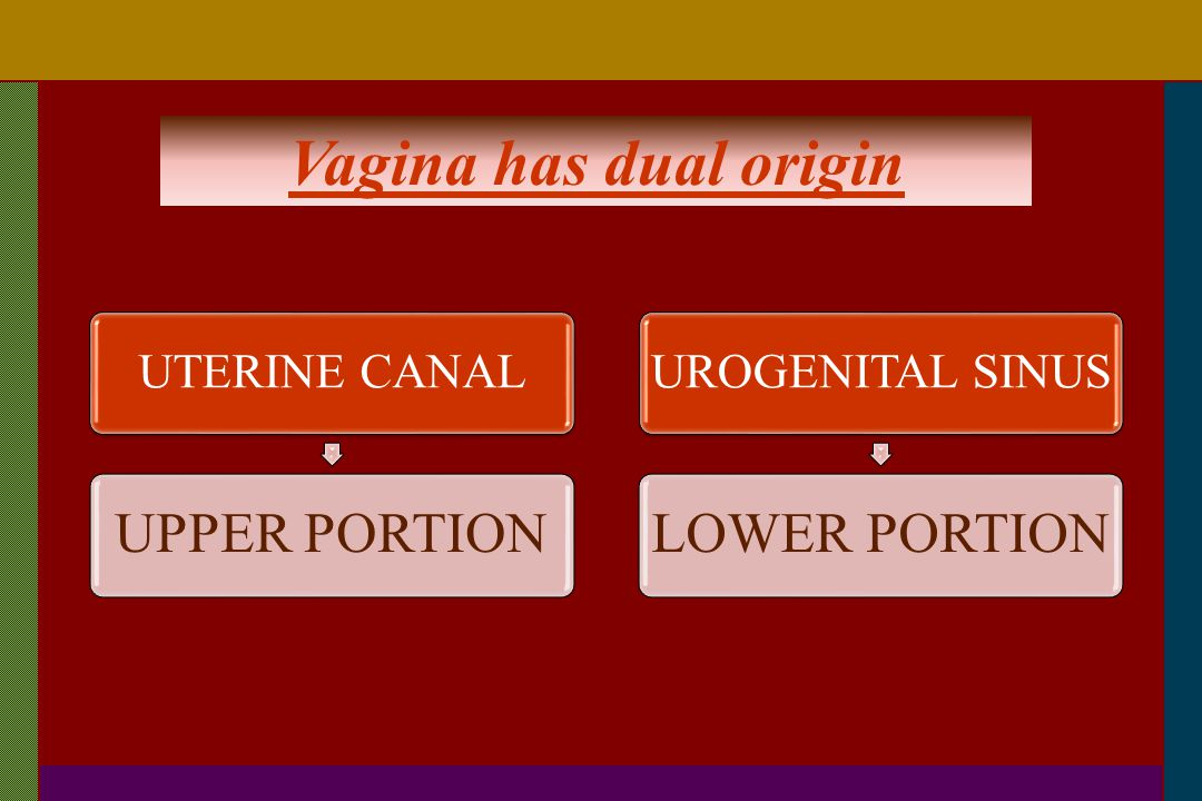 Vagina has dual origin UPPER PORTION LOWER PORTION UTERINE CANAL