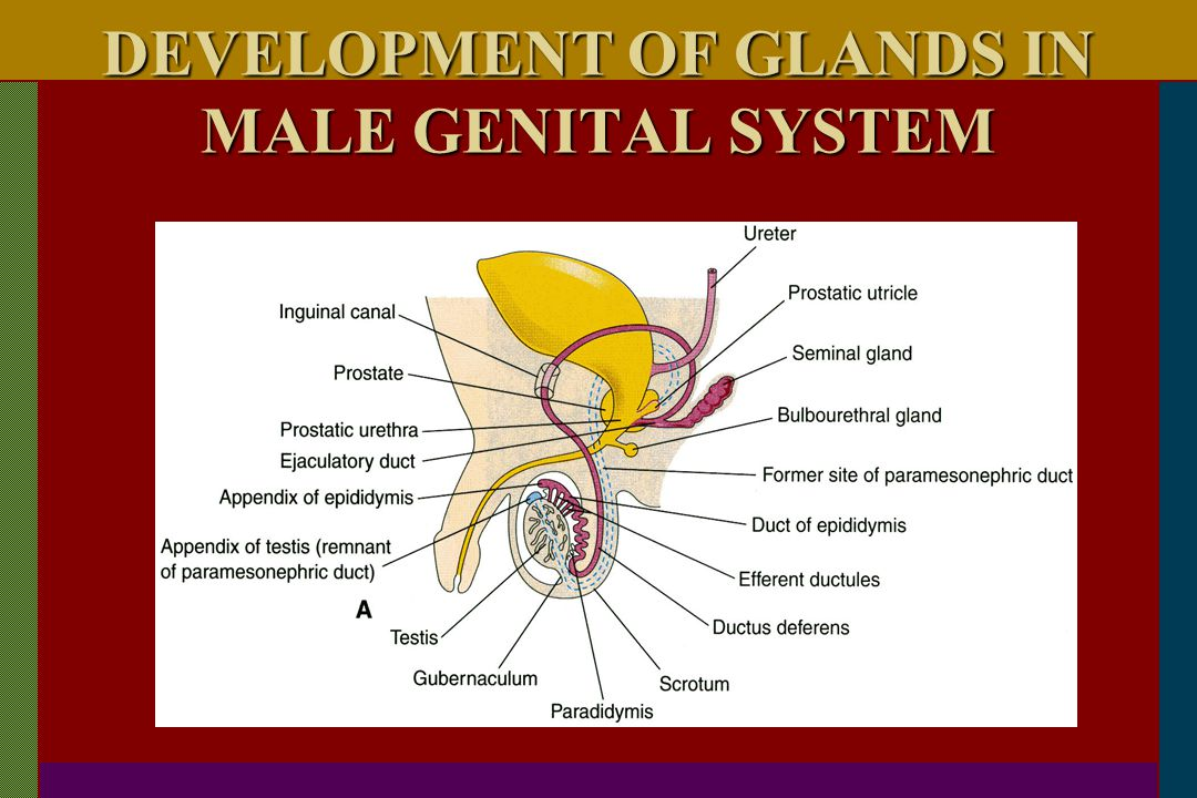 DEVELOPMENT OF GLANDS IN MALE GENITAL SYSTEM