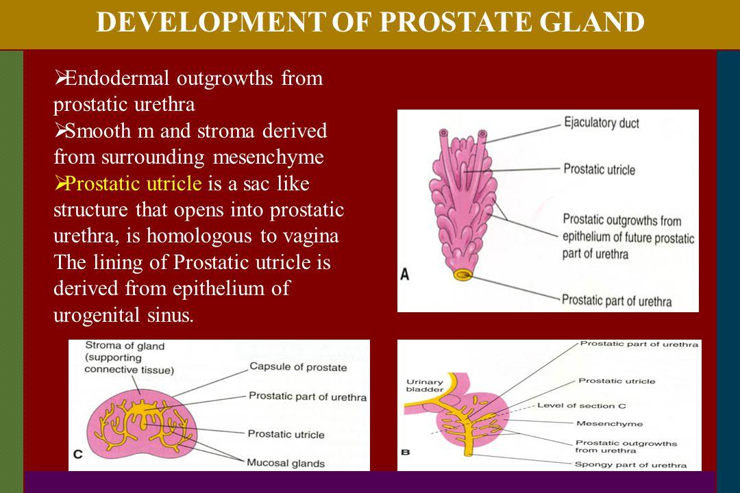 DEVELOPMENT OF PROSTATE GLAND