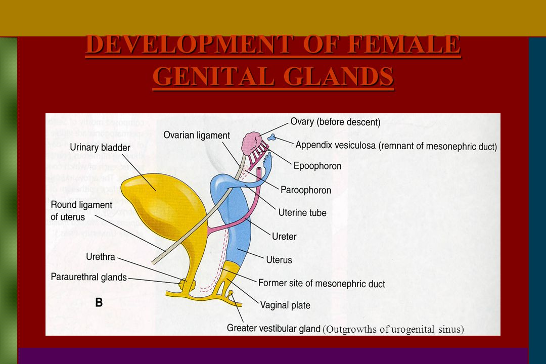 DEVELOPMENT OF FEMALE GENITAL GLANDS