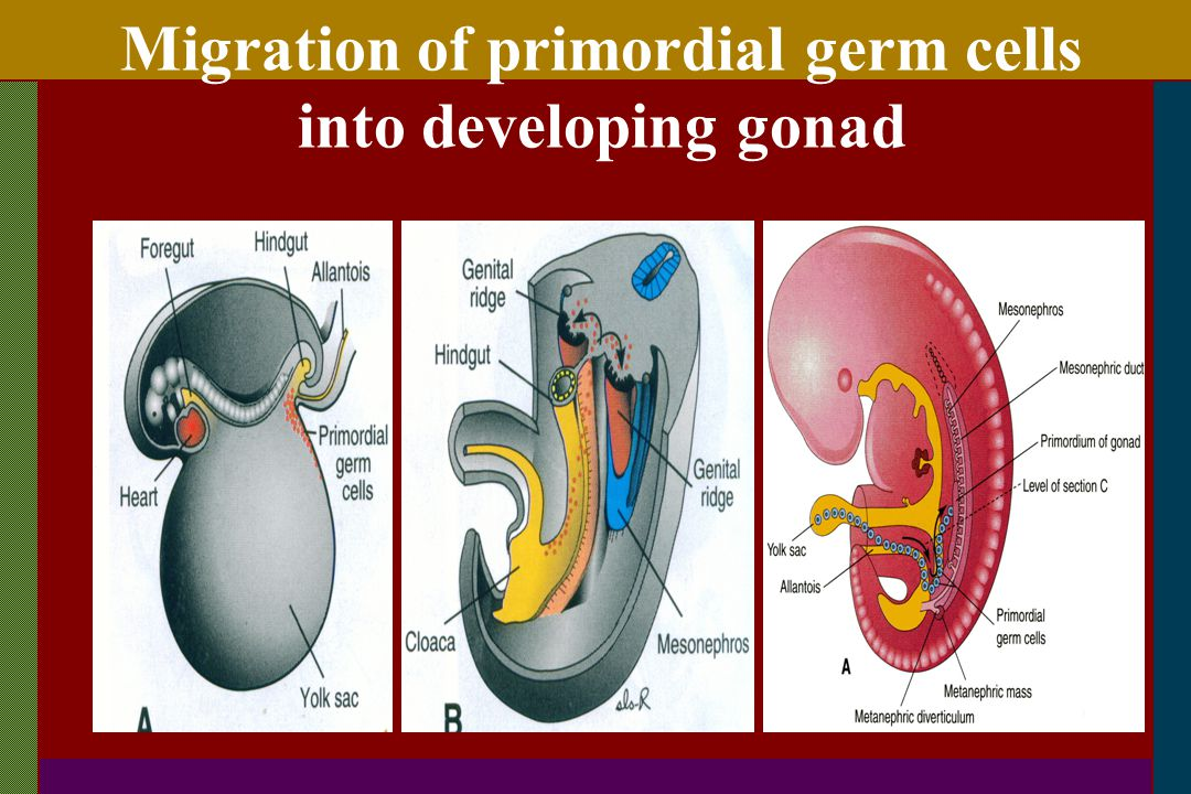 Migration of primordial germ cells into developing gonad