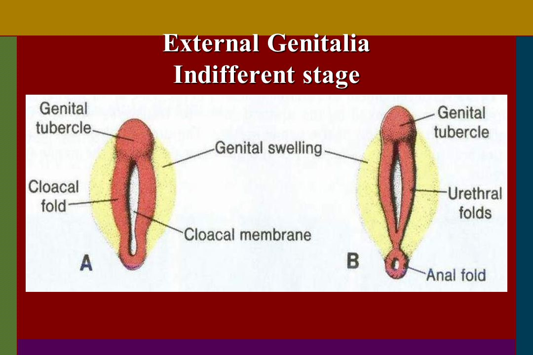 External Genitalia Indifferent stage