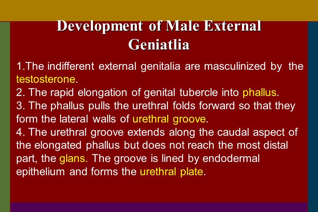 Development of Male External Geniatlia