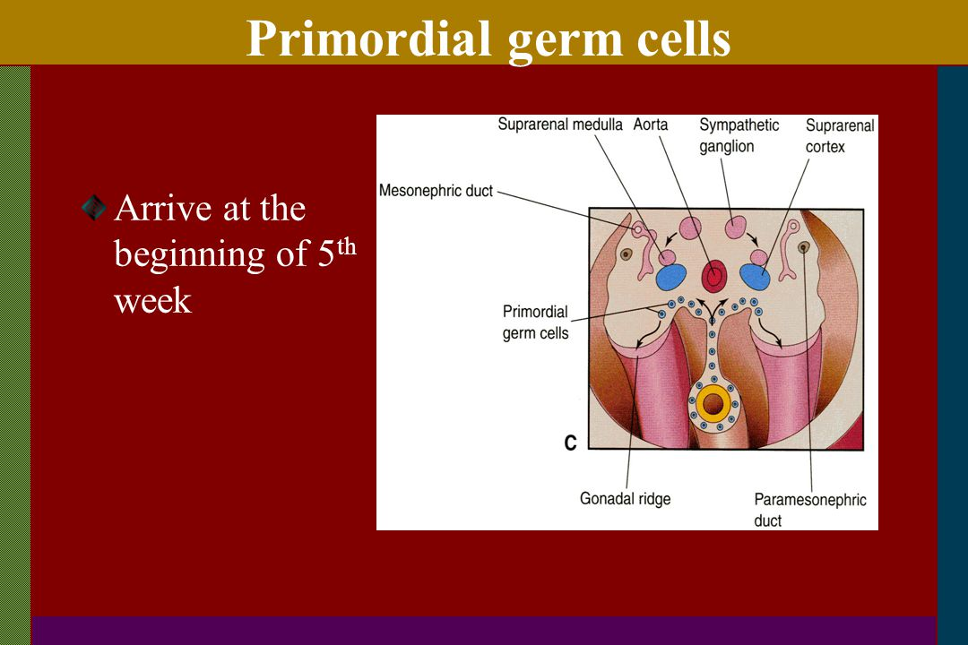 Primordial germ cells Arrive at the beginning of 5th week