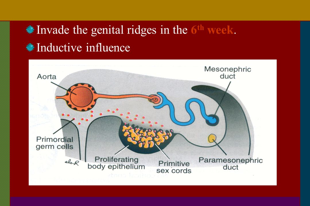 Invade the genital ridges in the 6th week.