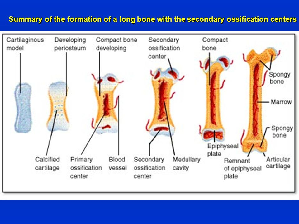 Summary of the formation of a long bone with the secondary ossification centers