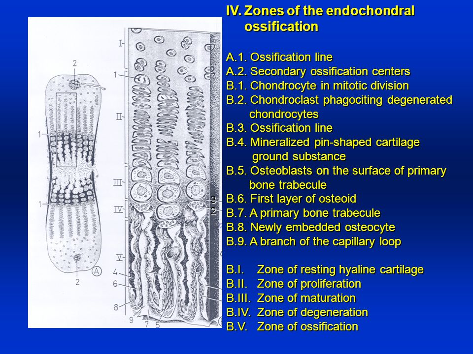 IV. Zones of the endochondral ossification