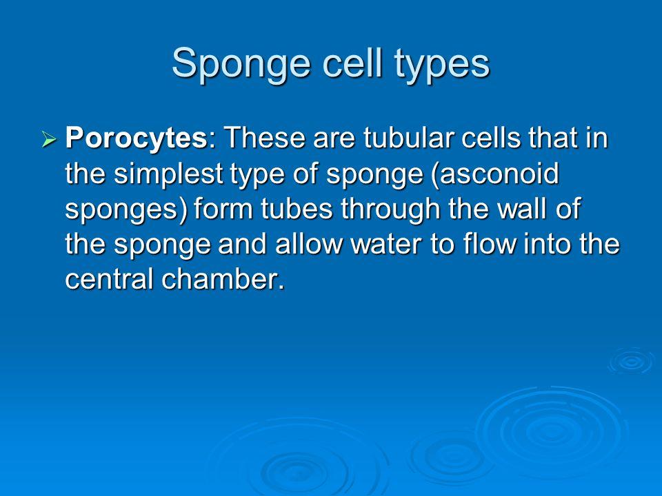 Sponge cell types