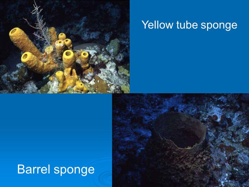 Yellow tube sponge Barrel sponge
