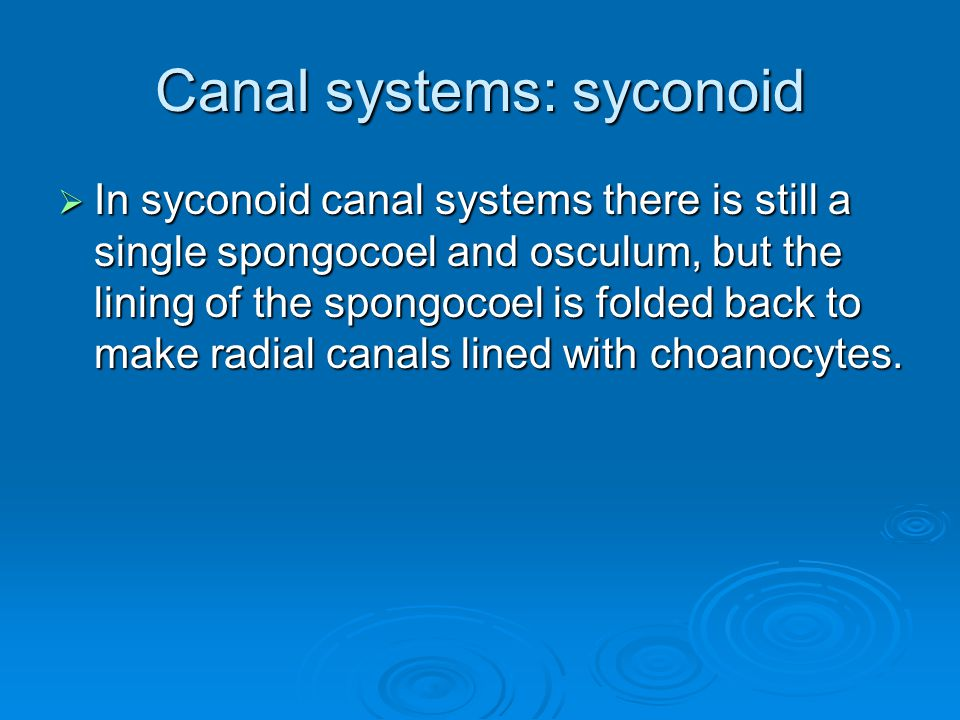 Canal systems: syconoid