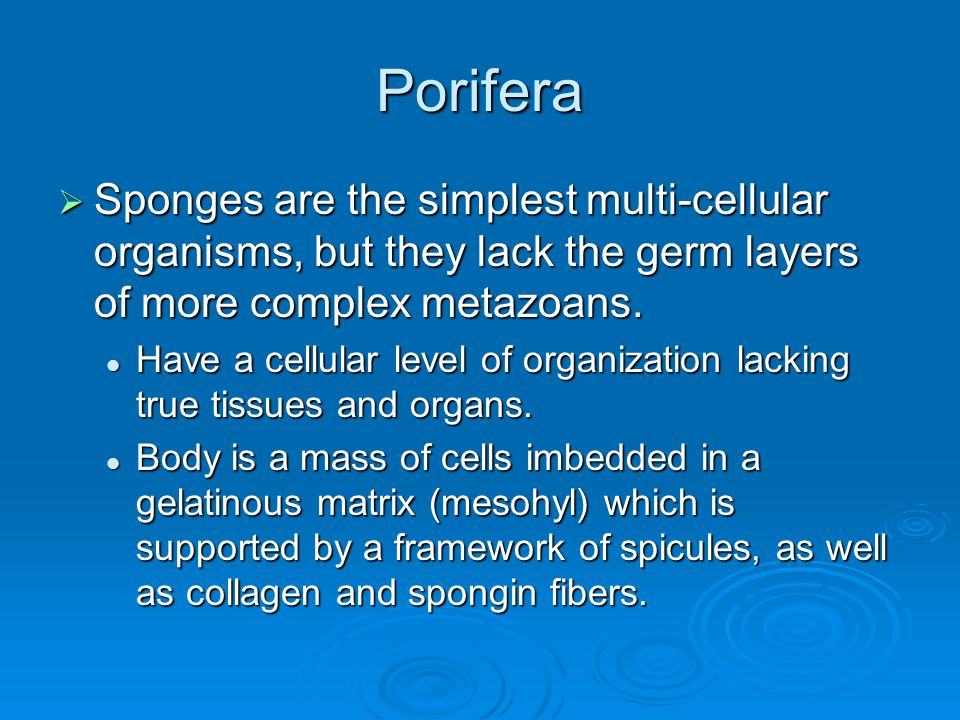 Porifera Sponges are the simplest multi-cellular organisms, but they lack the germ layers of more complex metazoans.