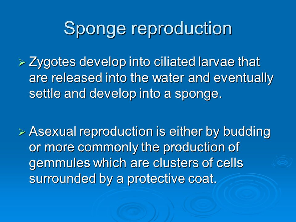 Sponge reproduction Zygotes develop into ciliated larvae that are released into the water and eventually settle and develop into a sponge.