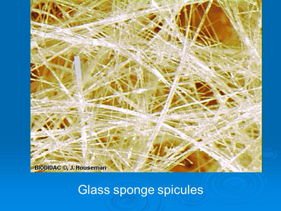 Glass sponge spicules