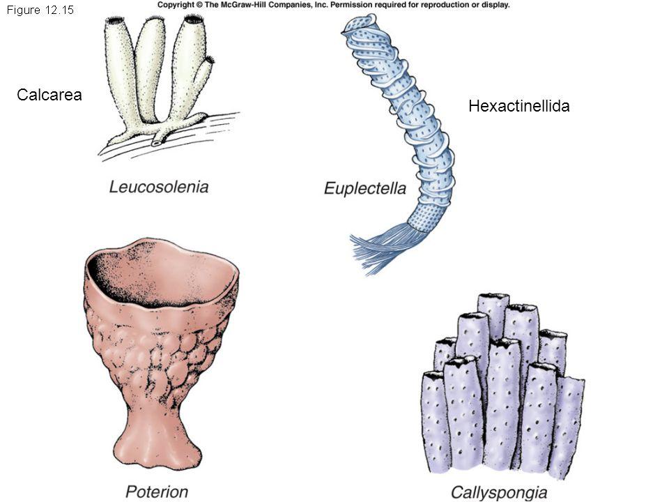 Calcarea Hexactinellida