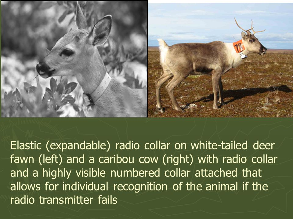 Elastic (expandable) radio collar on white-tailed deer fawn (left) and a caribou cow (right) with radio collar and a highly visible numbered collar attached that allows for individual recognition of the animal if the radio transmitter fails