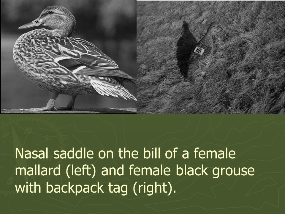 Nasal saddle on the bill of a female mallard (left) and female black grouse with backpack tag (right).