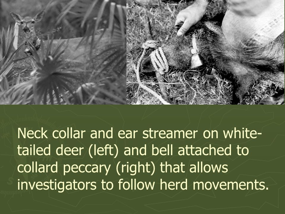 Neck collar and ear streamer on white-tailed deer (left) and bell attached to collard peccary (right) that allows investigators to follow herd movements.