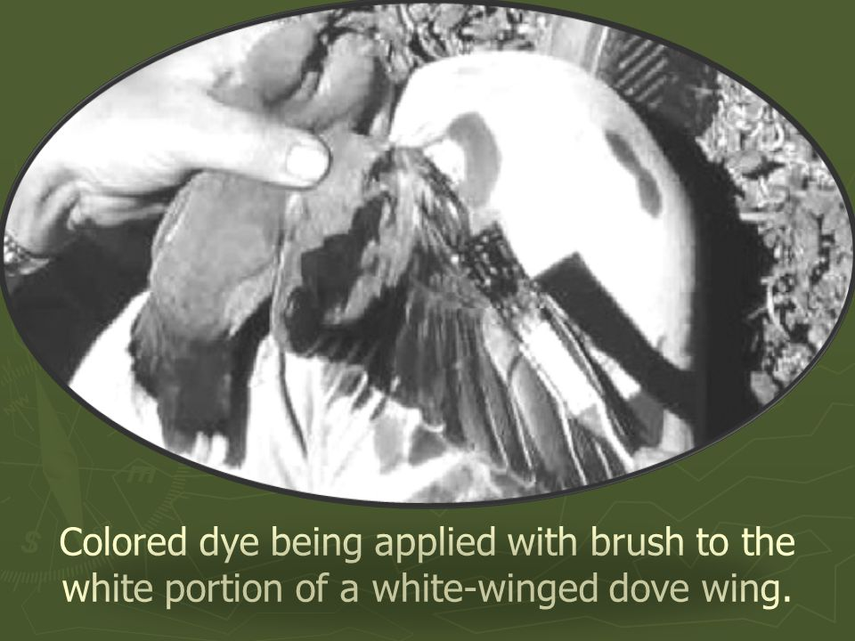 Colored dye being applied with brush to the white portion of a white-winged dove wing.
