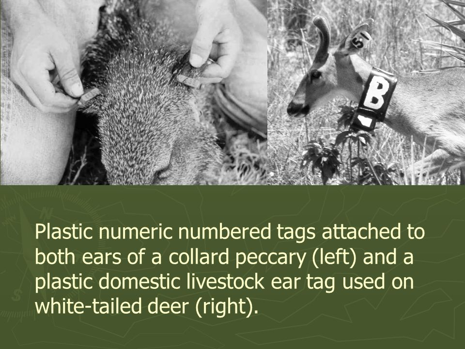 Plastic numeric numbered tags attached to both ears of a collard peccary (left) and a plastic domestic livestock ear tag used on white-tailed deer (right).