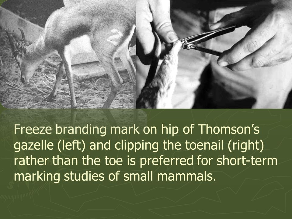 Freeze branding mark on hip of Thomson's gazelle (left) and clipping the toenail (right) rather than the toe is preferred for short-term marking studies of small mammals.