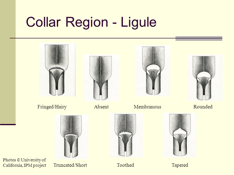 Collar Region - Ligule Fringed/Hairy Absent Membranous Rounded