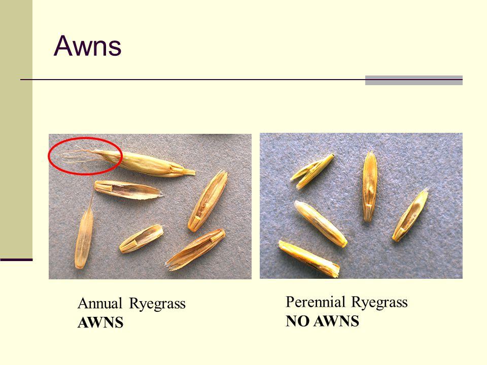 Awns Annual Ryegrass AWNS Perennial Ryegrass NO AWNS