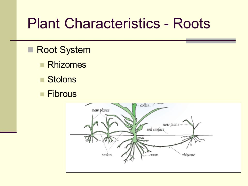 Plant Characteristics - Roots