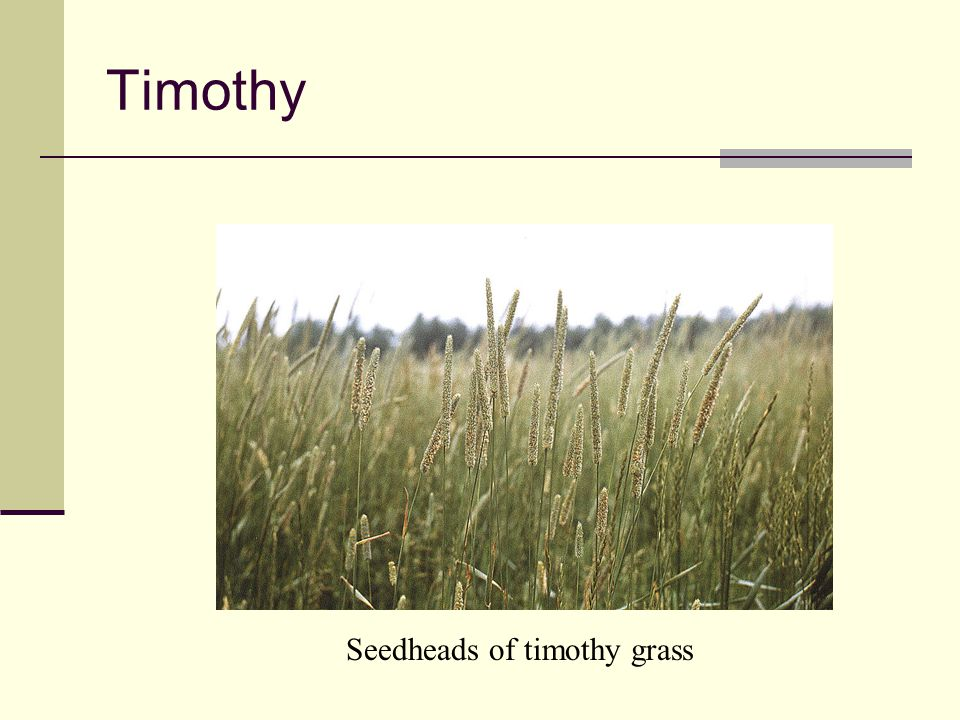 Timothy Common characteristic of timothy Seedheads of timothy grass