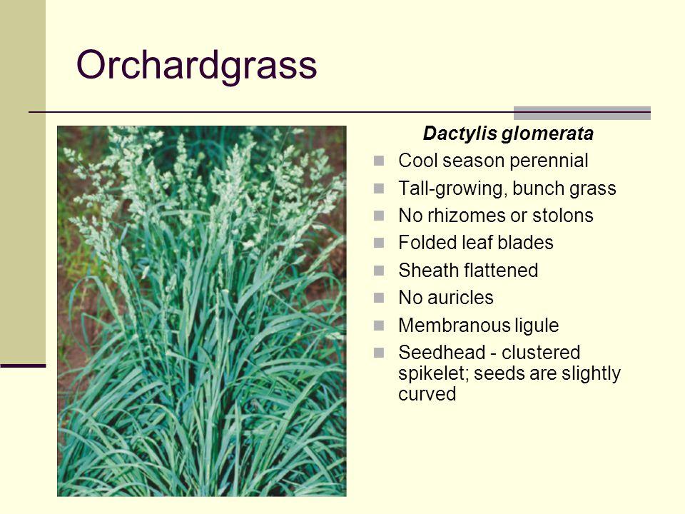 Orchardgrass Dactylis glomerata Cool season perennial