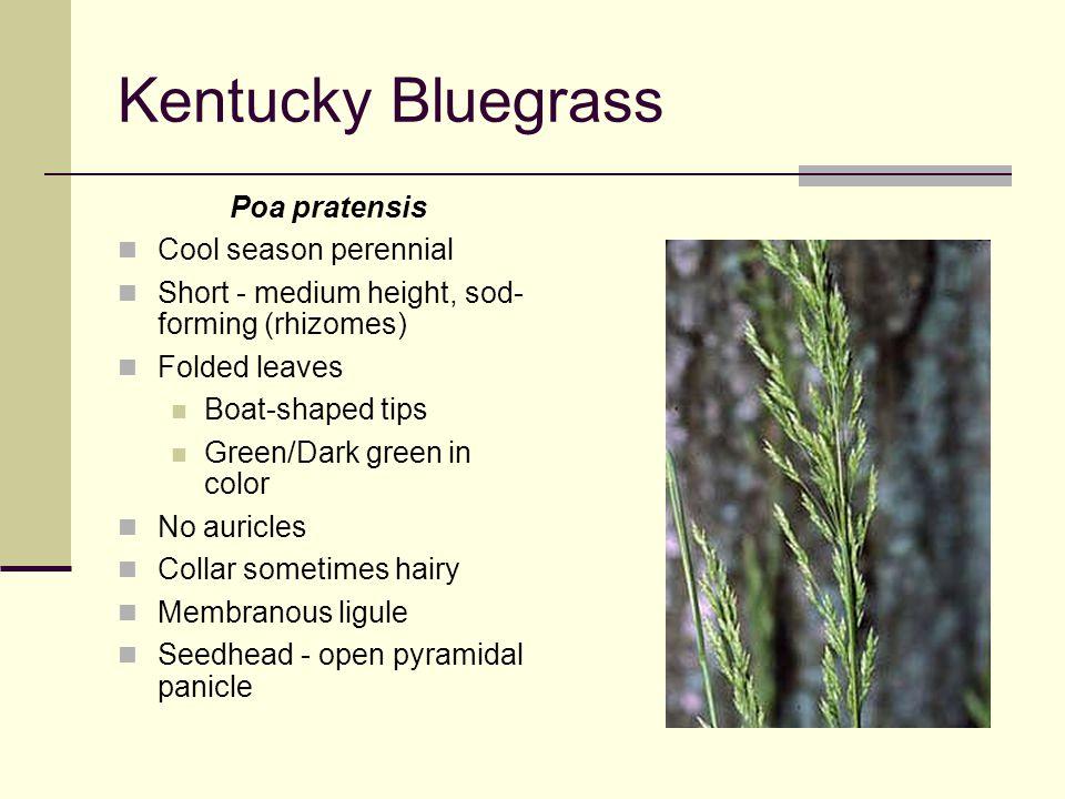 Kentucky Bluegrass Poa pratensis Cool season perennial