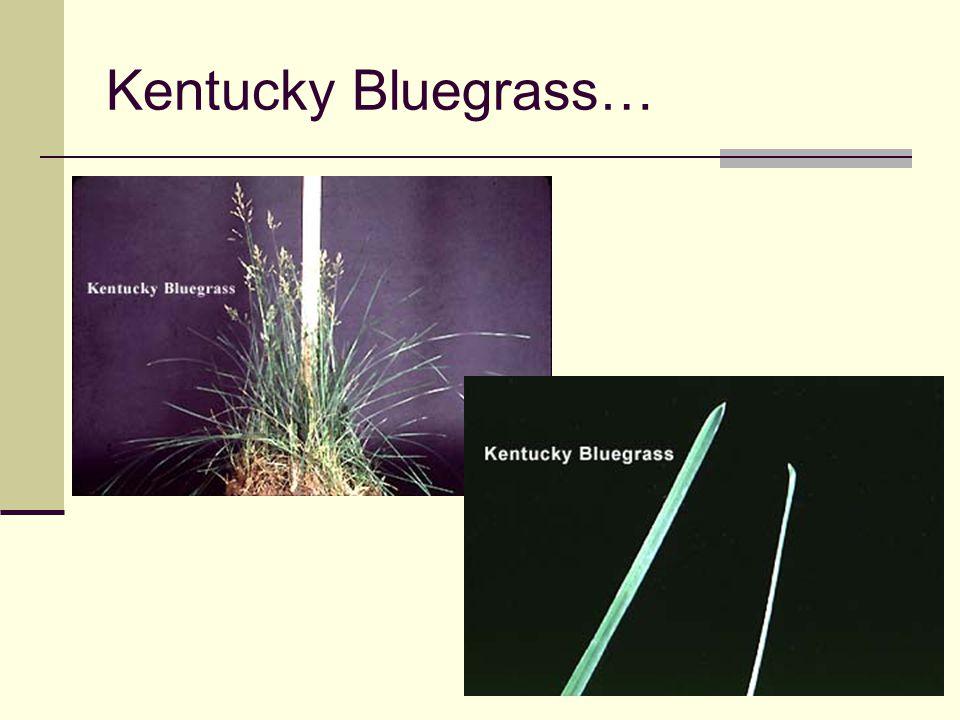 Kentucky Bluegrass…