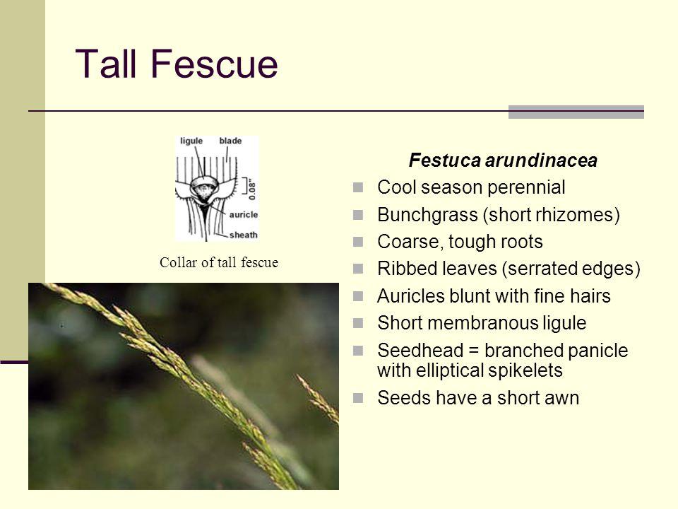 Tall Fescue Festuca arundinacea Cool season perennial