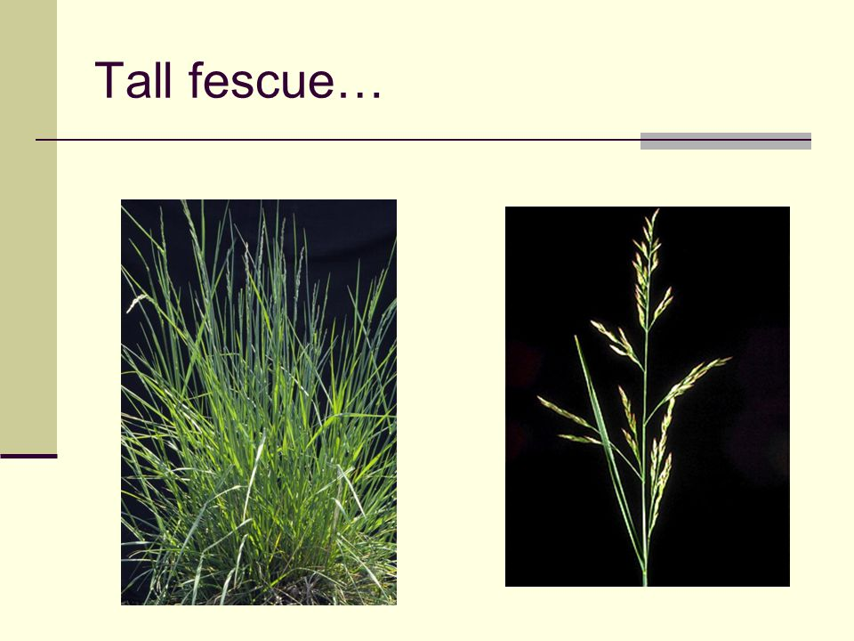 Tall fescue… Resistant to drought