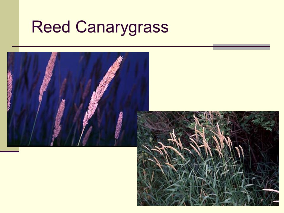Reed Canarygrass Seed head resembles timothy, but larger and looser