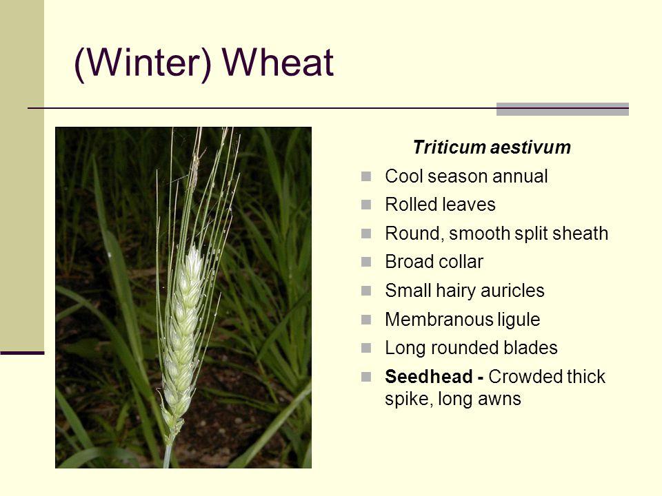 (Winter) Wheat Triticum aestivum Cool season annual Rolled leaves