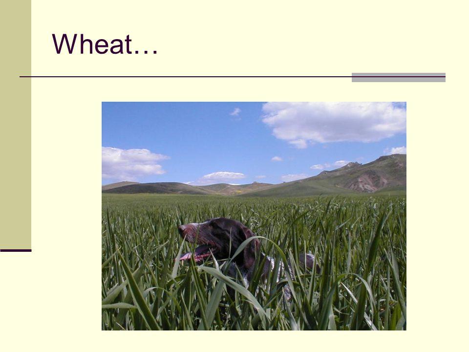 Wheat…