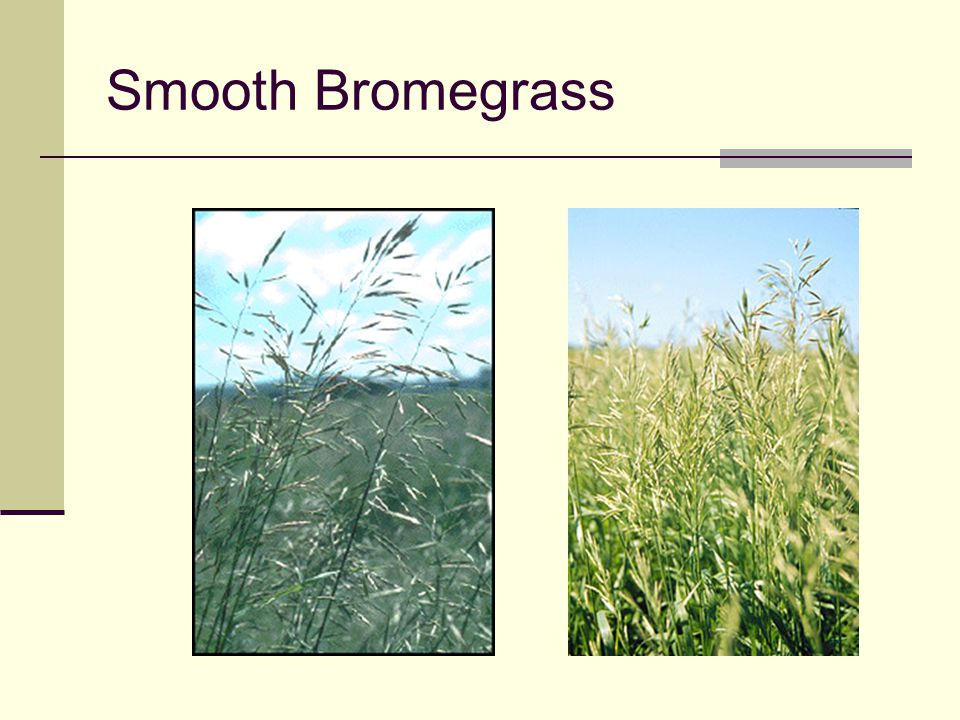 Smooth Bromegrass Erect panicle (many branches)