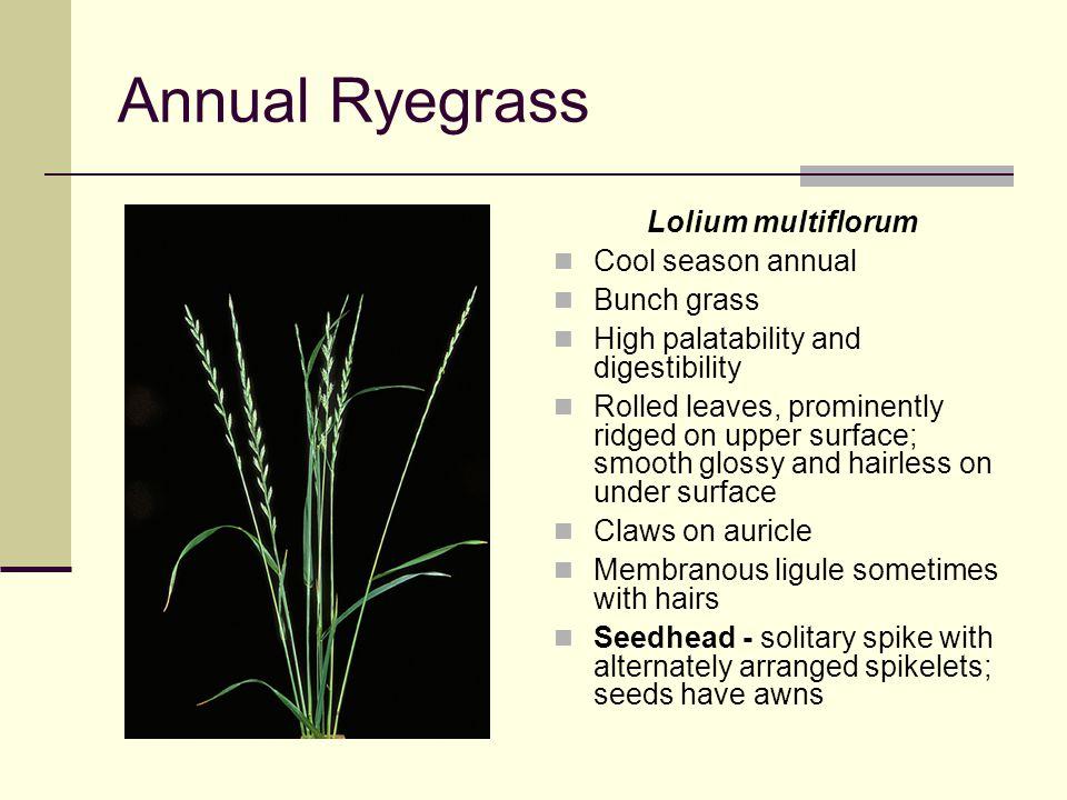 Annual Ryegrass Lolium multiflorum Cool season annual Bunch grass