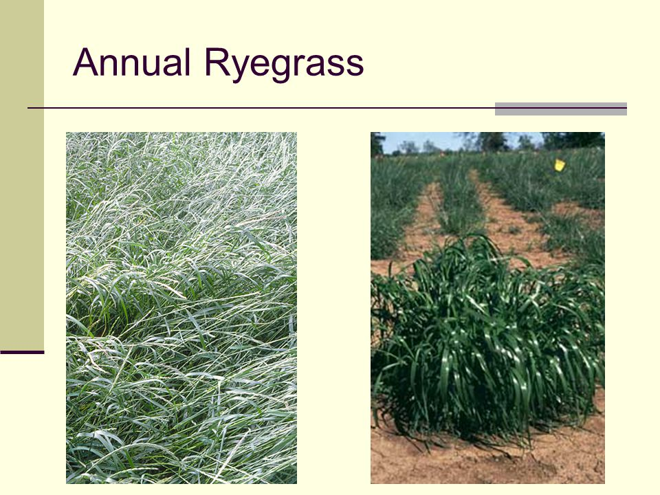 Annual Ryegrass Leaves appear shiny (see photo on right)