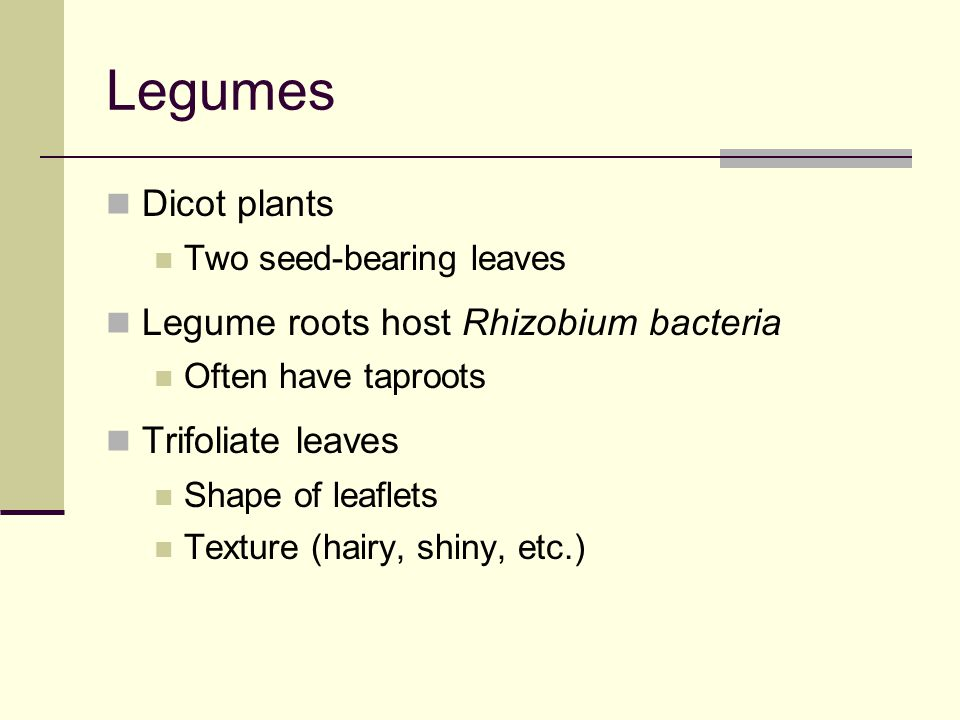 Legumes Dicot plants Legume roots host Rhizobium bacteria