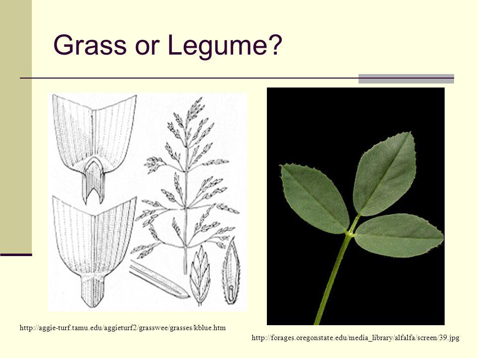 Grass or Legume Left – Kentucky Bluegrass