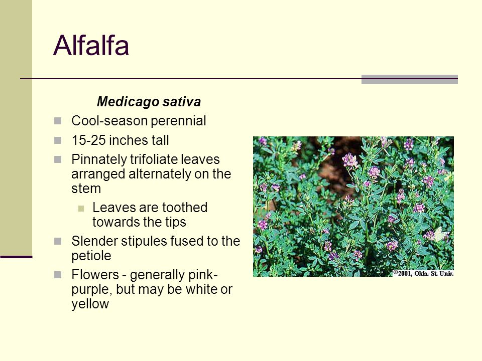Alfalfa Medicago sativa Cool-season perennial 15-25 inches tall