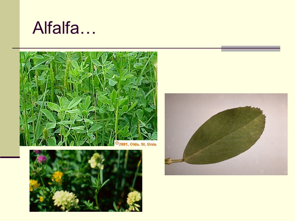 Alfalfa… Note toothed margin of alfalfa leaflet; note multi-colored flowers (unusual)
