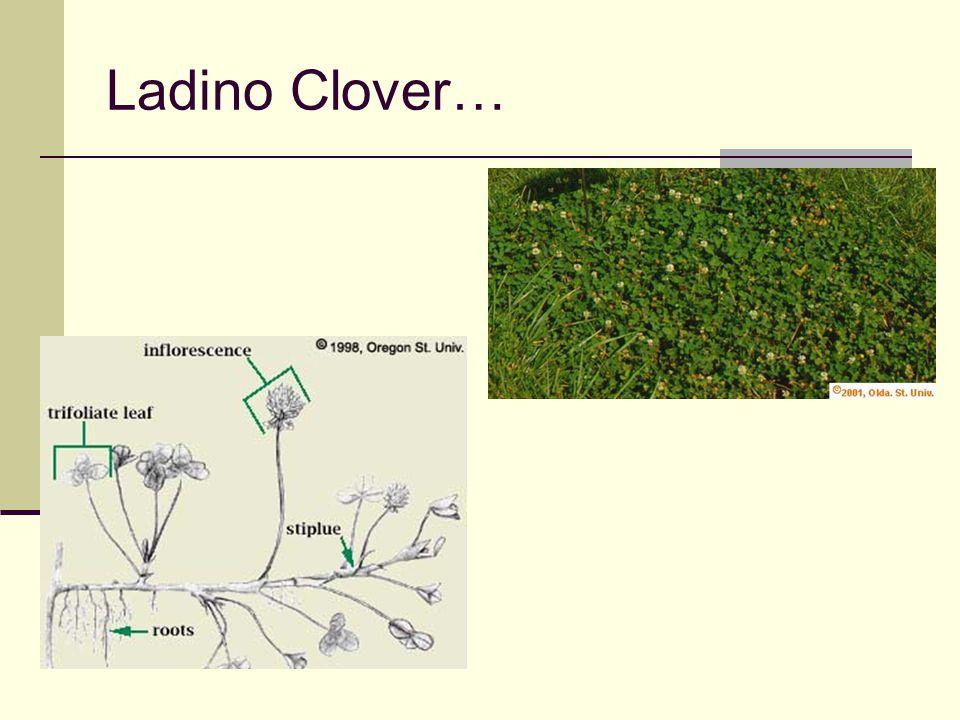 Ladino Clover…